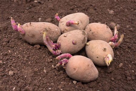 germinate: germinating potato before the planting in the vegetable garden