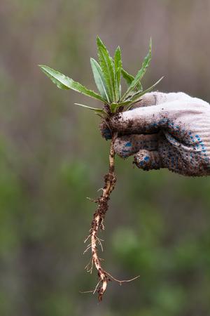 raices de plantas: mano con la mala hierba en el jardín de verduras