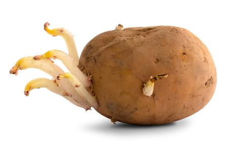 ontkiemen aardappel op een witte achtergrond Stockfoto