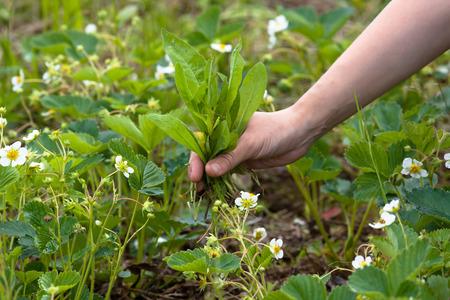 Mains de désherbage les fraises dans le jardin Banque d'images - 41802500