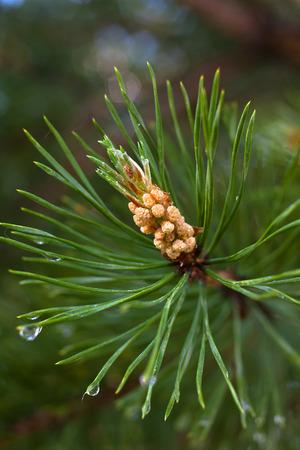 pinus sylvestris: strobile on the pine (Pinus sylvestris)