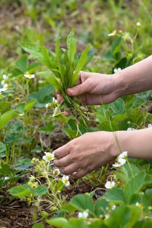 handen wieden de aardbeien in de tuin