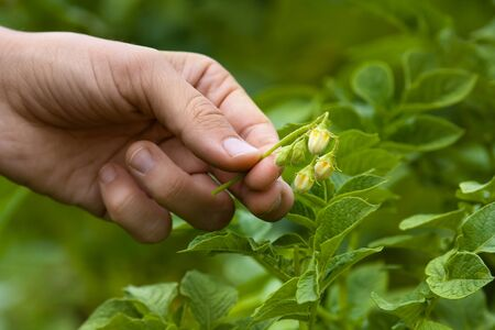 hand with culled flower of potato, closeup