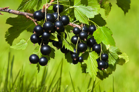 black currant branch on the blurred background 写真素材