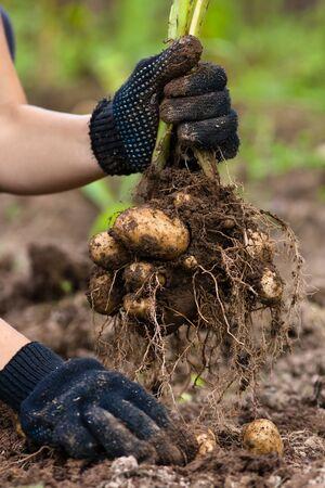 potato field: digging bush potato in hand, close up