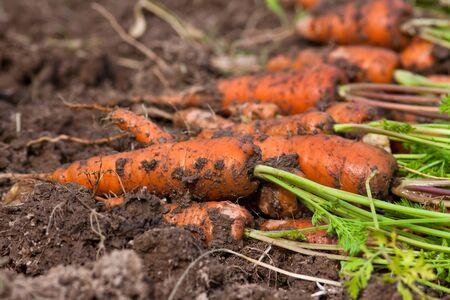 fresh leaf: fresh harvested carrots in the vegetable garden, closeup