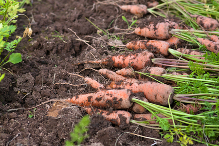 fresh produce: fresh harvested carrots in the vegetable garden, closeup