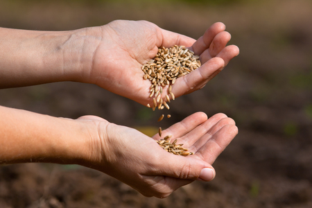 cereals holding hands: hands pouring ripe rye grain, close up