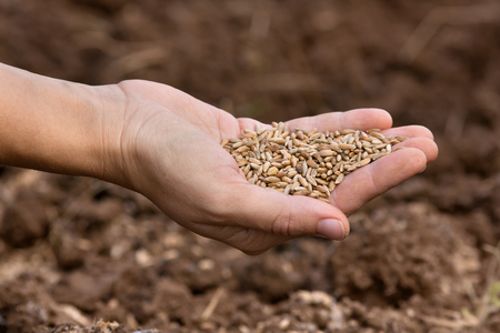 cereals holding hands: hand holding ripe rye grain, close up Stock Photo