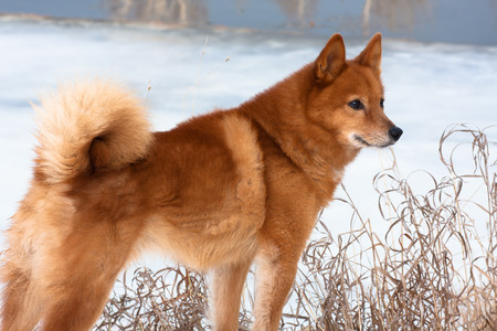 Finnish Spitz on the riverbank in winter 스톡 콘텐츠