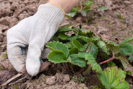 hojas antiguas: manos eliminaci�n de las hojas viejas de las fresas