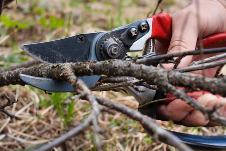 hand pruning black current by pruning shears