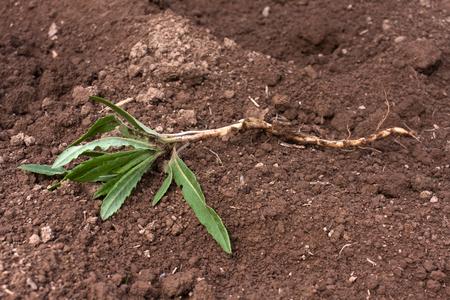 weed op de grond in moestuin Stockfoto
