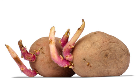 germinating: germinating potatoes isolated on the white background