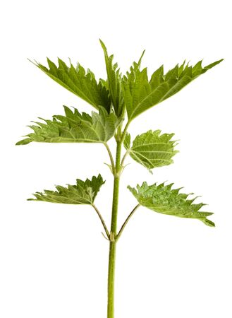 stinging  nettle: fresh green leaves of stinging nettle isolated on a white background