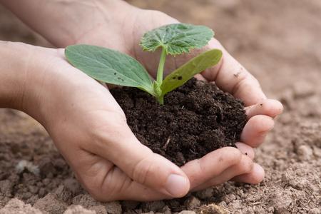 fertile: women hands holding seedling of vegetable marrow with fertile soil Stock Photo