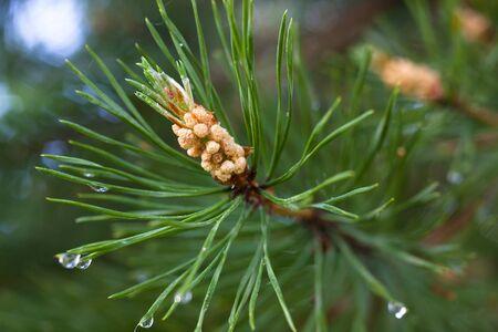 pinus sylvestris: strobile on the pine branch (Pinus sylvestris) Stock Photo