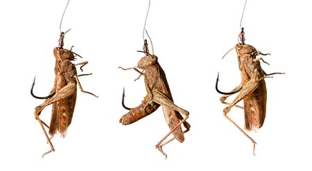 grasshoppers: set of fishing hooks with grasshoppers  isolated on white background