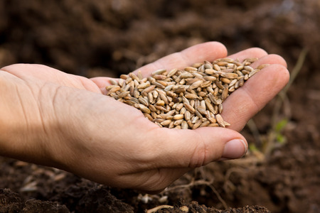 cereals holding hands: hand of woman holding ripe rye grain, closeup