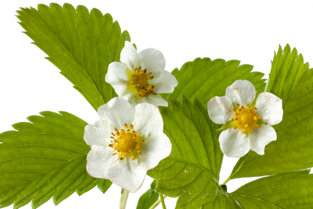 fragaria: flowers of strawberry isolated on white background Stock Photo