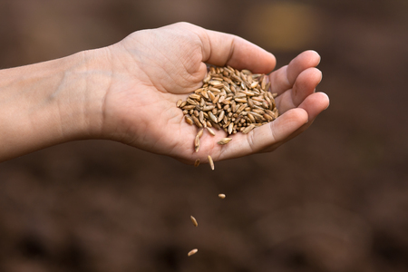 cereals holding hands: hand of woman pouring ripe rye grain, closeup