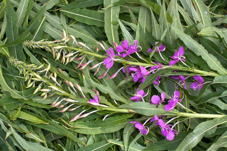 angustifolium: leaves and flowers willow-herb (Ivan-tea), close up