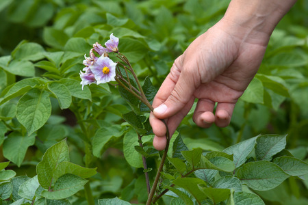 cull: hand picking flowers from the potatoes in the garden