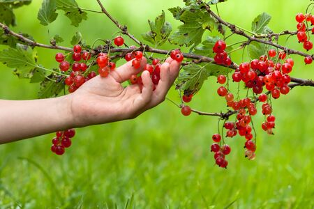 sour grass: hand of woman picking berries of red currant on the blurred background