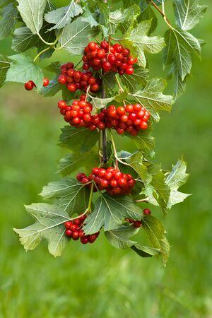 branch of red viburnum in the garden, closeup