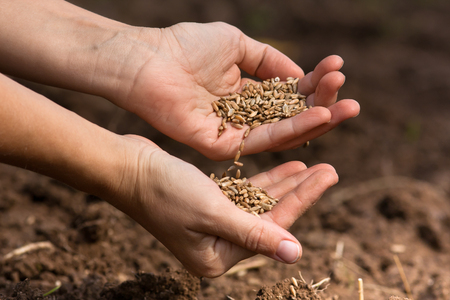 cereals holding hands: hands holding and pouring ripe rye grain, closeup