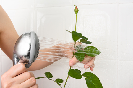 hydrate: hands pouring from the shower rose to clean dust off and hydrate it