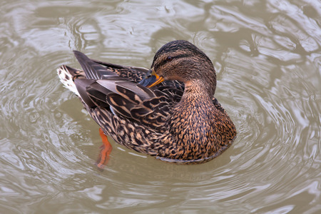 wildfowl: mallard duck female (Anas platyrhynchos) cleaning its feathers on the water
