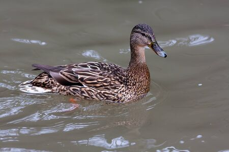 wildfowl: mallard duck female (Anas platyrhynchos) on the water Stock Photo
