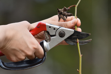 secateurs: hands in gloves pruning rose with secateurs in the garden