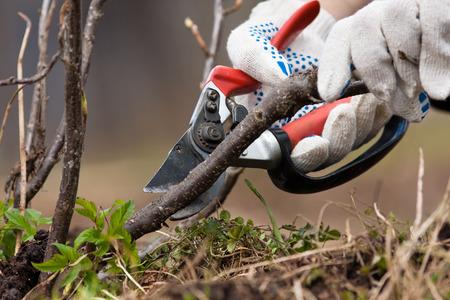handen in handschoenen snoeien zwarte stroom met snoeischaar in de tuin Stockfoto