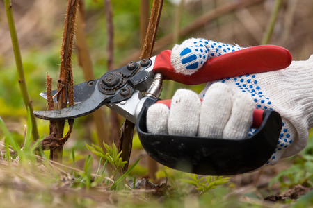 secateurs: hand in gloves pruning raspberry with secateurs in the garden Stock Photo