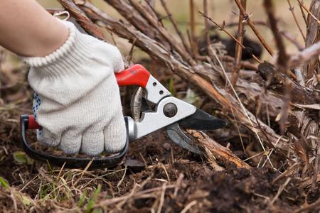 hand in handschoenen snoeien framboos met snoeischaar in de tuin