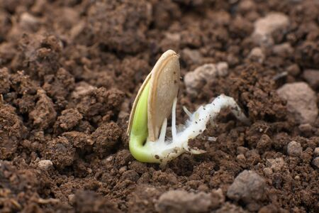 sprouted: sprouted seed of marrow on the soil in the vegetable garden, closeup