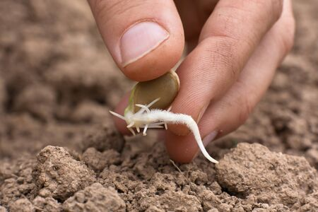 sprouted: woman hand planting sprouted seed of marrow in soil in the vegetable garden, closeup