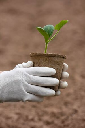 hands in gloves holding seedling of marrow in the garden Stock Photo