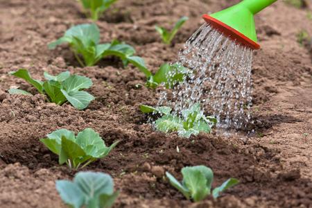 Arroser le chou dans le jardin potager, gros plan Banque d'images - 60148467