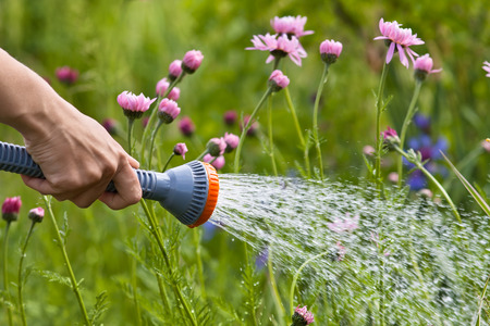 dryness: hand watering flowers in the garden, closeup Stock Photo
