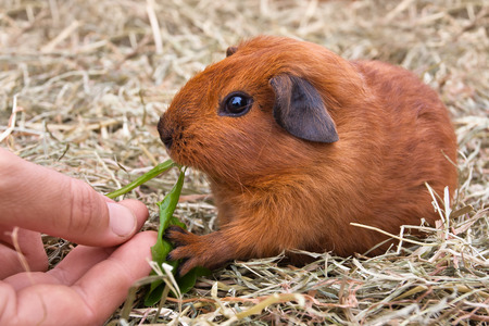 hand of woman feeding young guinea pig