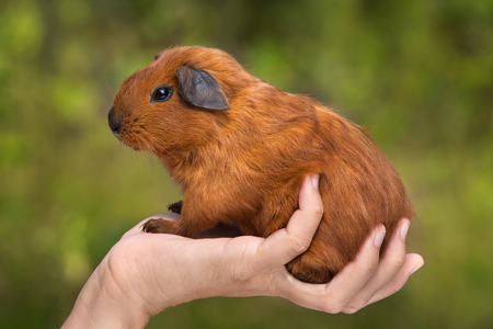 californian: hand holding guinea pig on green blurred background Stock Photo