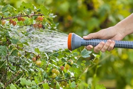 gooseberry bush: hand watering gooseberry bush in the garden Stock Photo