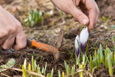 hands weeding flower bed with crocuses in the garden Stock Photo