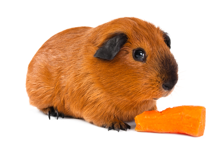 guinea pig with fresh carrot on white background Stock Photo