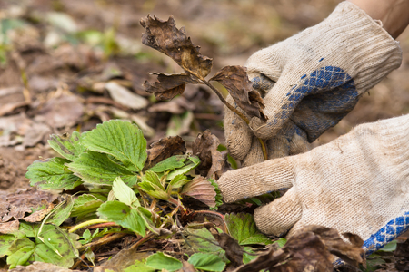 hojas antiguas: hands in gloves removing old leaves from the strawberries in the garden