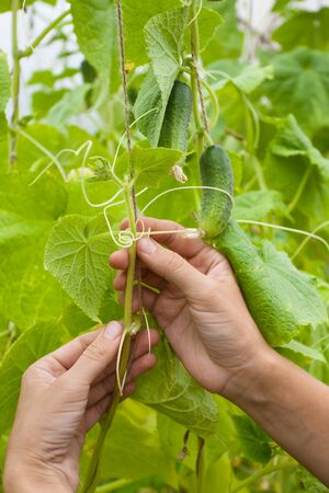 tied in: closeup of gardener hands tied up cucumber in the vegetable garden
