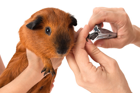 hands cutting claws of guinea pig with nail clipper on white background